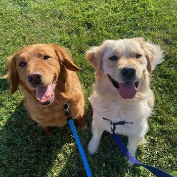 Hunter and Milly (Golden Retrievers)